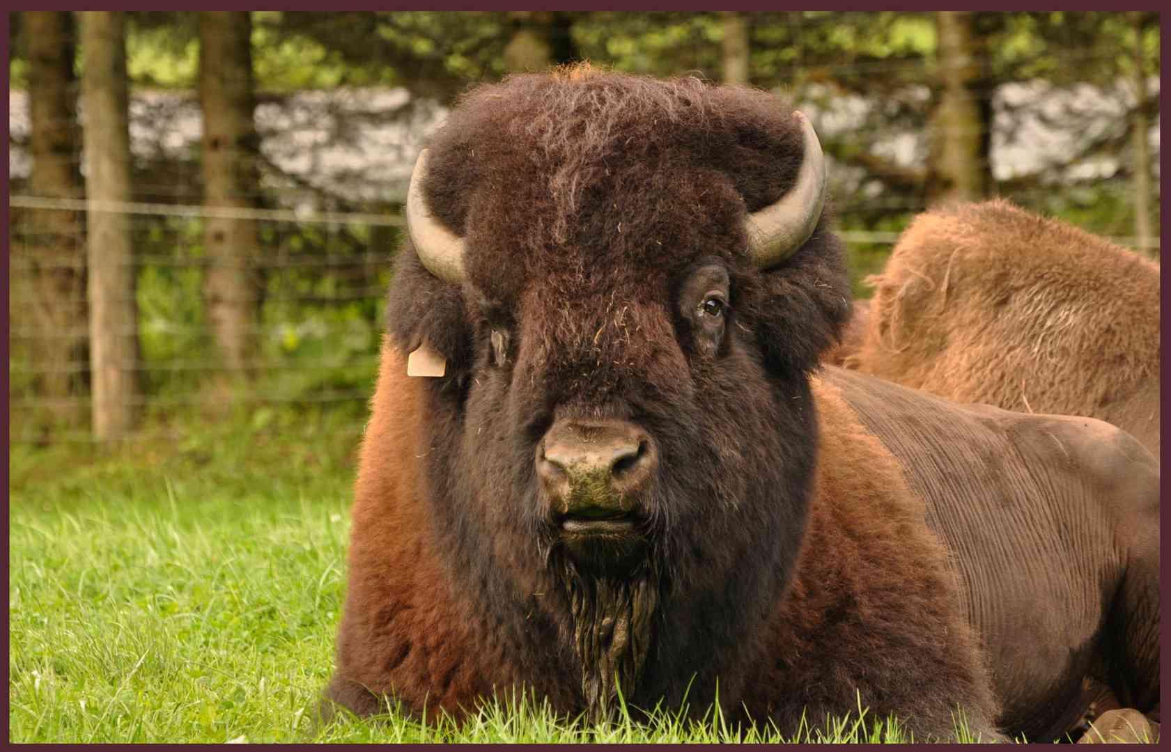 bison fute