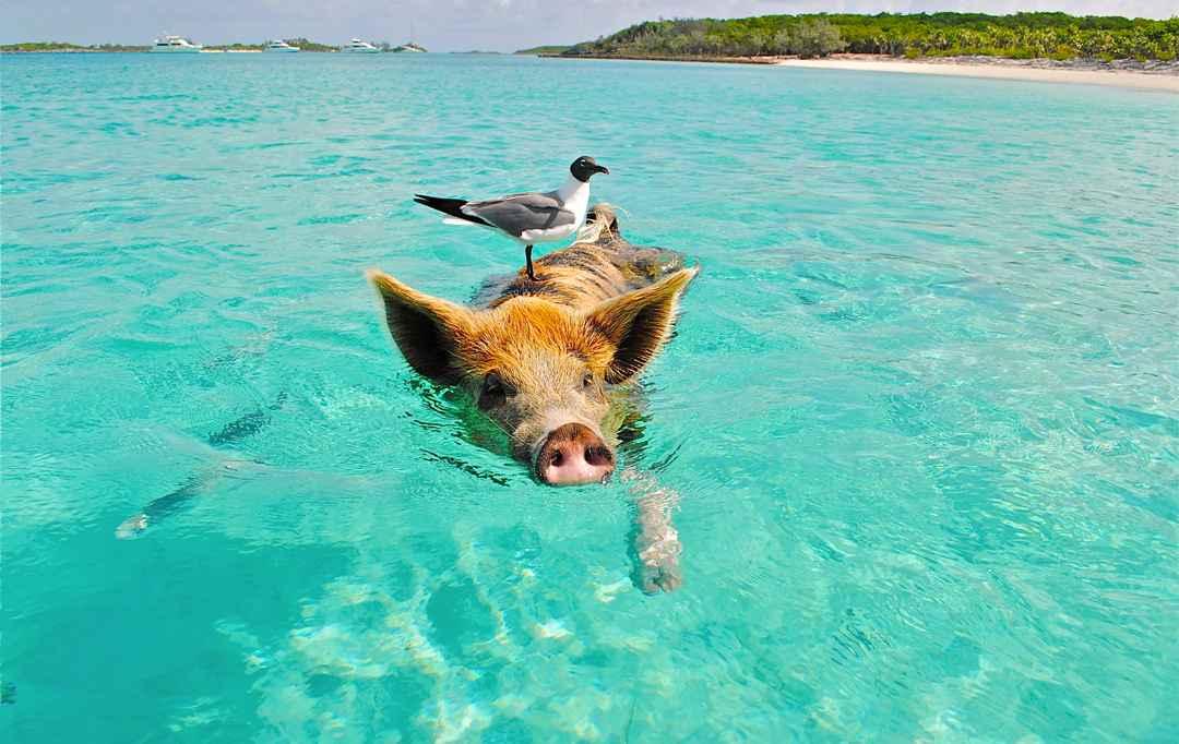 la baie des cochons