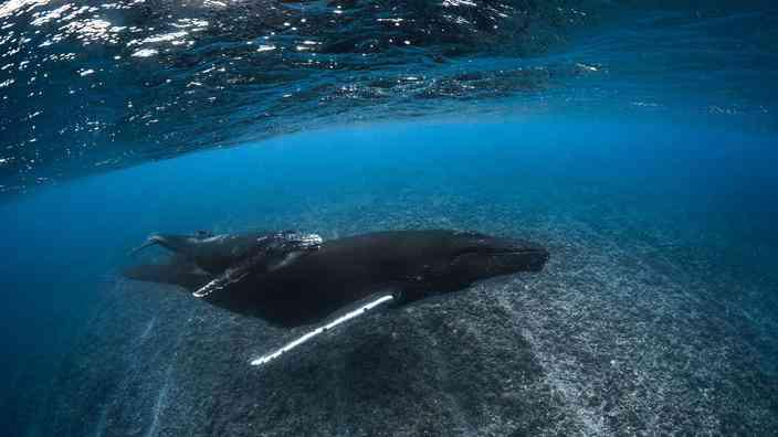 les baleines de polynesie