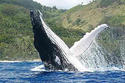 les baleines de rurutu