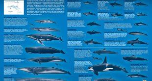 Cétacés de Polynésie - Baleines et dauphins