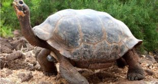 Tortue aux Galapagos