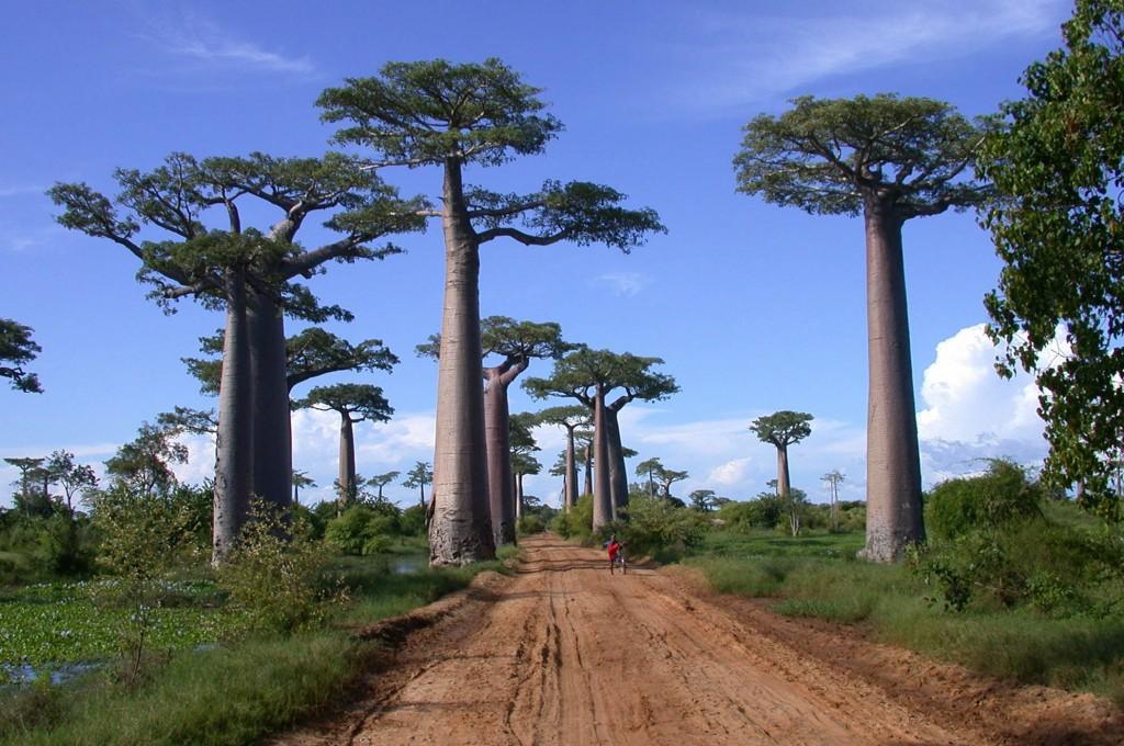 Paysage de Baobabs à Madagascar