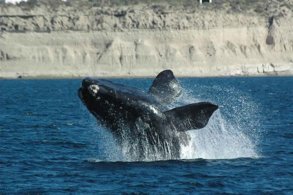 Une baleine dans la Péninsule Valdes