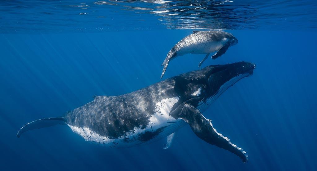 Une Baleine en Polynésie