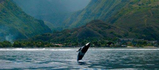 Une baleine sur Rurutu
