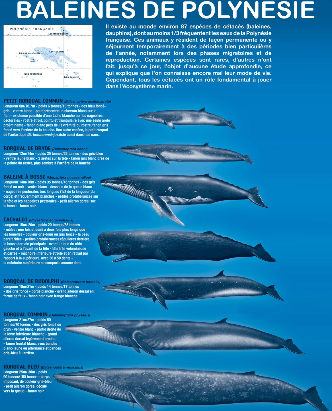 Baleines en Polynésie - les espèces