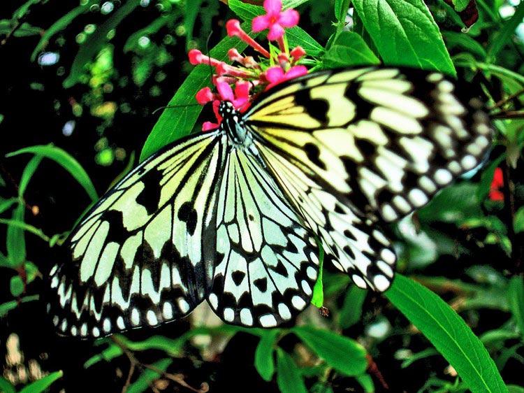 Les Papillons sur Saint-Martin