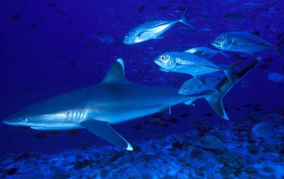 Plongée avec les requins à Tikehau