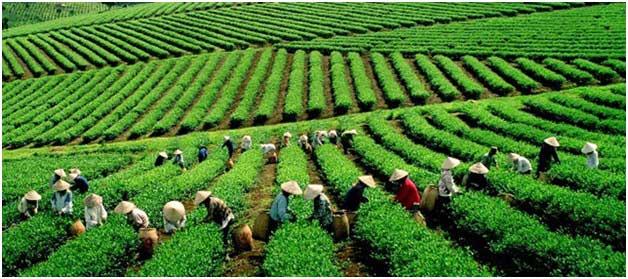 La culture du thé en Asie