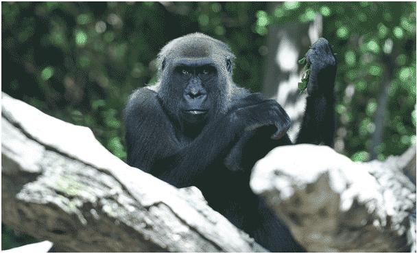 Un singe au Bronx-Zoo